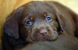 DogNames.ru - клички для собак лабрадоров