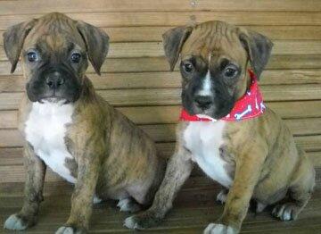 DogNames.ru - исконные клички собак породы боксер