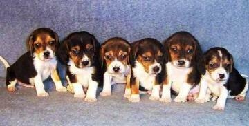 DogNames.ru - клички для собак гончих