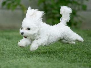 Клички для собак породы болонка
